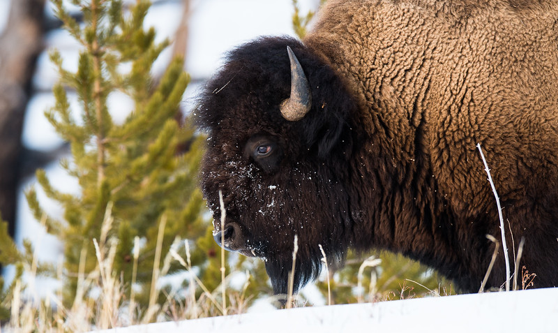 Wolves can't bring down Bison by the throat - just too much fur there.  This big bull has made it half way through winter.