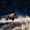 Big bull Bison in late autumn