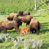 Bison calves in Lamar Valley are pretty protected from predators as long as they hang in the herd.