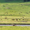 Lamar Valley in spring with lots of Bison calves - adults have to be excited about making it through a very hard winter