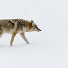 Coyote - Harriman State Park (Canis latrans)