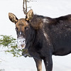Bull Moose - Blacktail Loop - YNP
