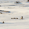 Grey wolf pack - Lamar Valley  - Temp minus 10F