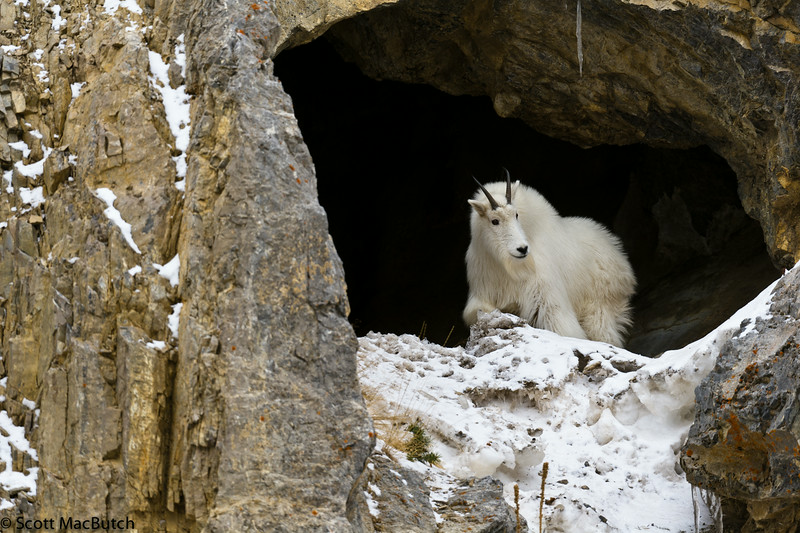 Mountain Goat near Alpine Wyoming