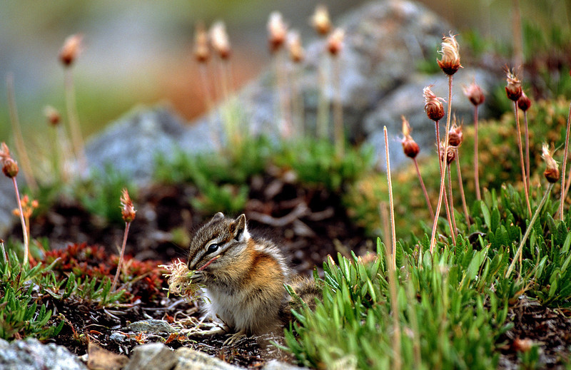 Least Chipmunk snacking on Dryas