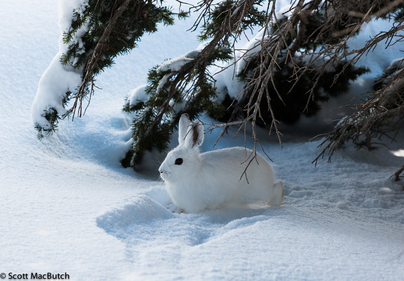Snowshoe Hare  - near Basement - Dali Lama (Lepus americanus)