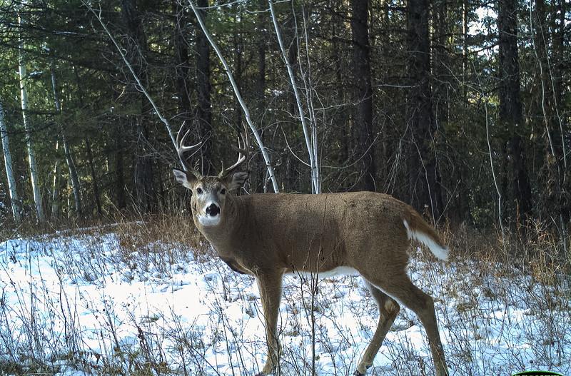 Whitetail Buck