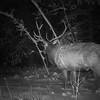 Bull Elk At Night
