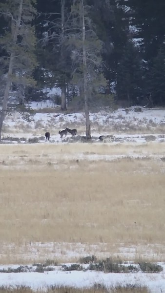 """Short """"digi scope"""" video of Junction Butte pup's playing."""