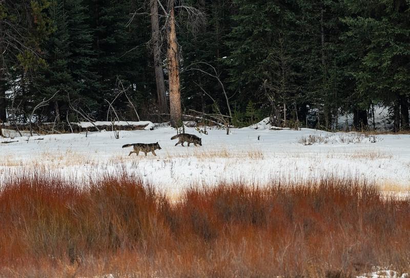 Couple of Junction Butte wolves walking along Soda Butte Cr