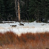 Couple of Junction Butte wolves walking along Soda Butte Cr