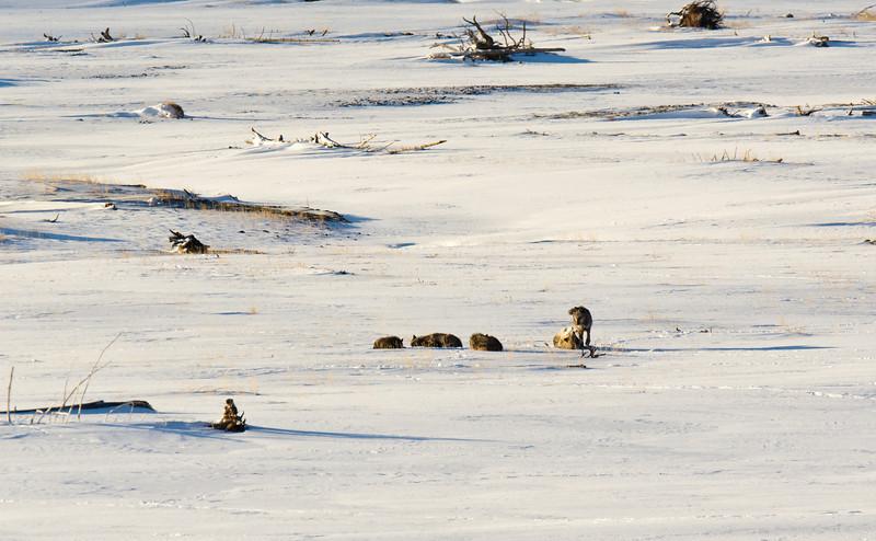 Druid wolf pack - Lamar Valley  - Temp minus 10F