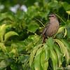 Gray catbird (Dumetella carolinensis), Jamaica Bay, New York