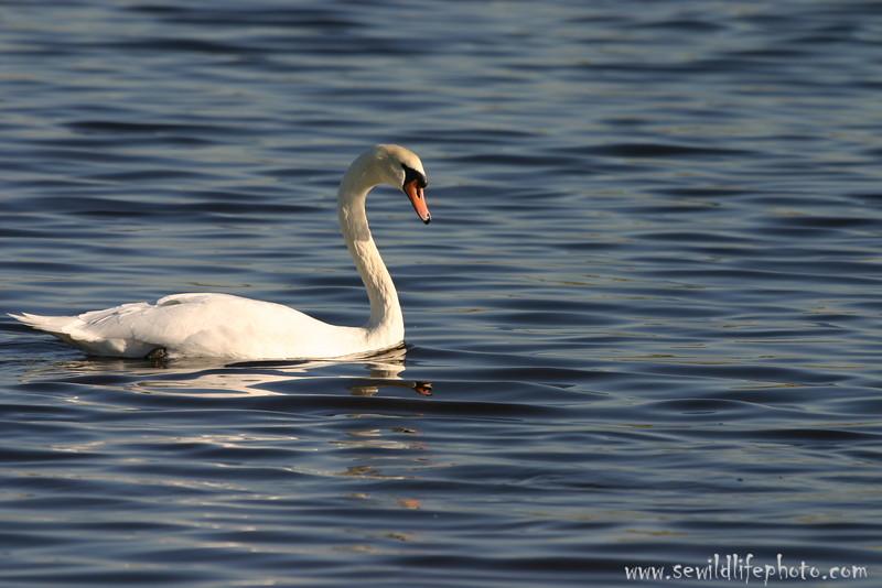 Mute swan (Cygnus olor), Jamaica Bay, New York City