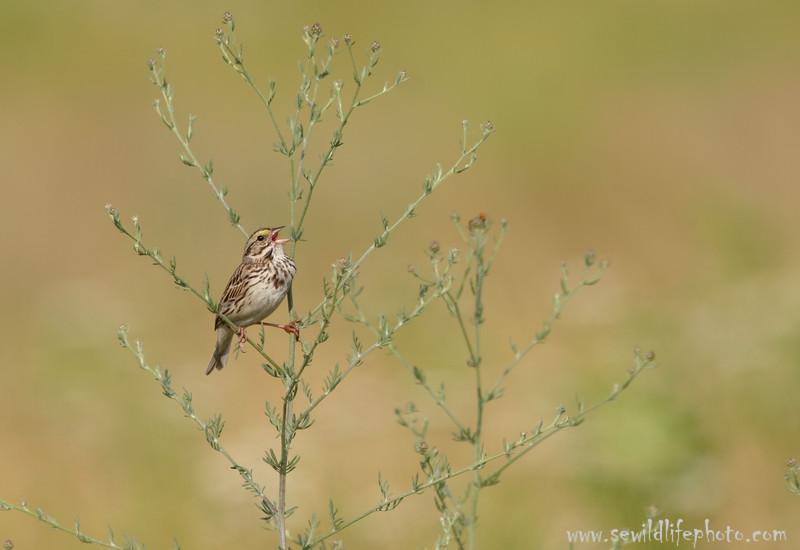 Savannah sparrow (Passerculus sandwichensis), New York City
