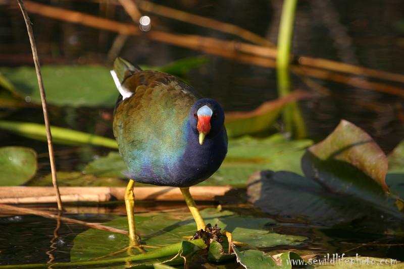 Purple gallinule (Porphyrula martinica), Everglades