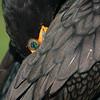 Double crested cormorant (Phalacrocorax auritus), Everglades