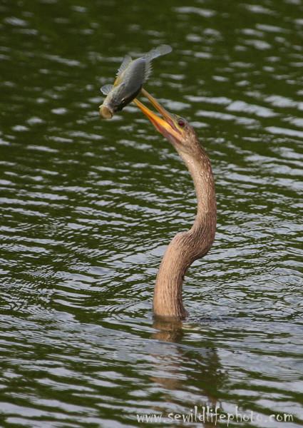 Anhinga (Anhinga anhinga) with large-mouth bass, Everglades