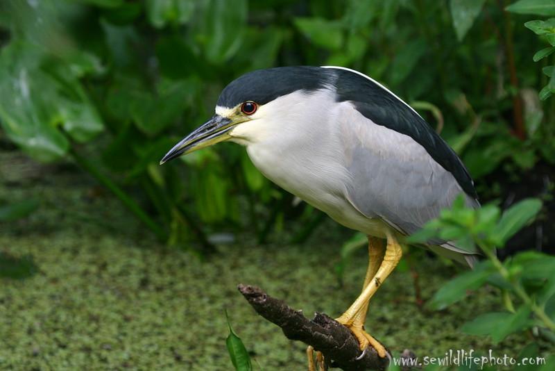 Black crowned night-heron (Nycticorax nycticorax), Corkscrew Swamp Sanctuary