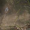Everglades landscape with snowy egret (Egretta thula), Everglades