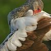 White ibis juvenile (Eudocimus albus), Everglades