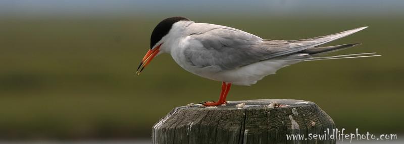 Common tern (Sterna hirundo), Cape May, New Jersey