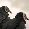 Black vulture (Coragyps atratus), Everglades