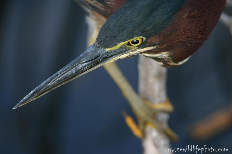 Green heron (Butorides virescens), Everglades