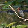 Green heron (Butorides virescens) and alligator, Everglades