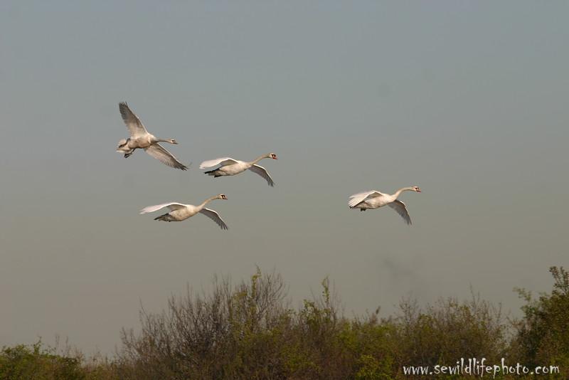 Mute swans (Cygnus olor) flying, Jamaica Bay, New York City