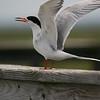 Common tern (Sterna hirundo), Cape May