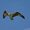 Osprey (Pandion haliaetus) flying, Everglades
