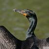 Double crested cormorant (Phalacrocorax auritus), Central Park, New York City