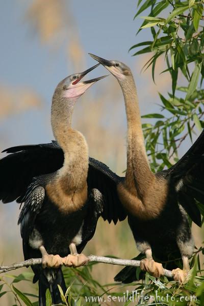 Anhingas (Anhinga anhinga), Everglades