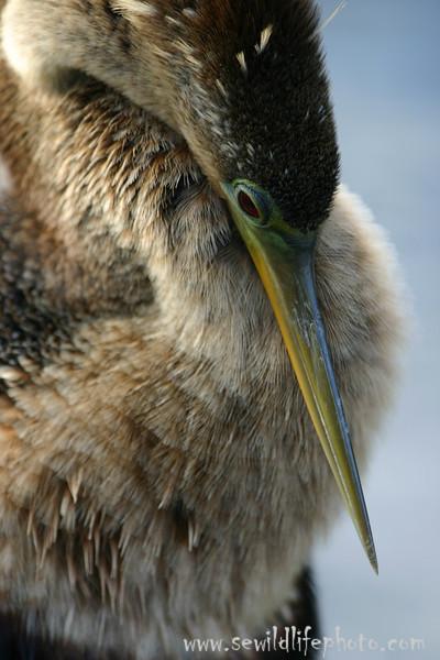 Anhinga (Anhinga anhinga), Everglades