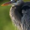 Great blue heron (Ardea herodias), Everglades