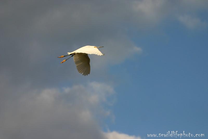 Snowy egret (Egretta thula) flying, Everglades