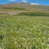 Prairie foxtail grass landscape, National Bison Range, Montana