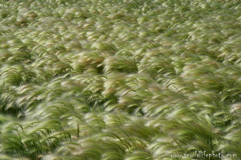 Foxtail grass, Montana