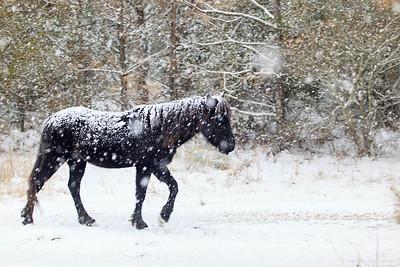Wild Mustang of Carova