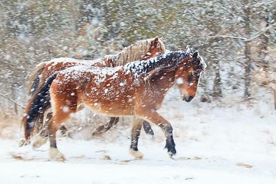 Wild Mustangs of Carova