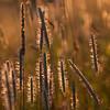Sunlit grasses 3