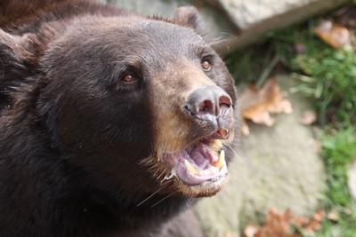A bear on Grandfather Mountain, NC