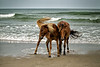 Wild Horses Stallion and Mare
