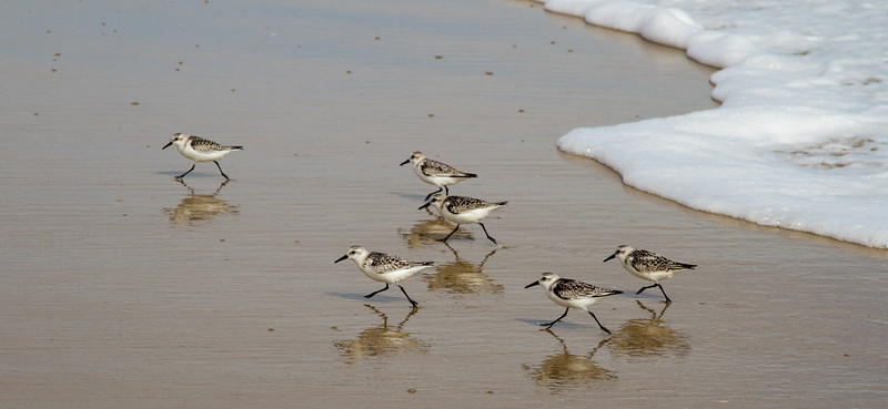 Sanderling Shuffle<br /> Sanderlings Outer Banks North Carolina