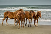 Wild Horses Walking the Beach
