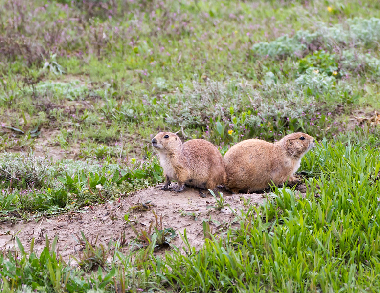 Black-tailed prairie dogs<br /> Theodore Roosevelt National Park, North Dakota