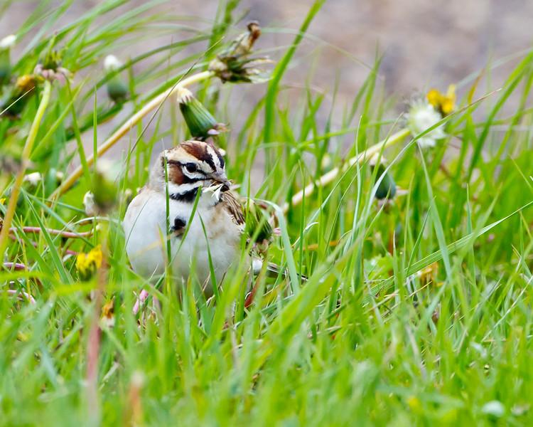 Lark Sparrow<br /> Theodore Roosevelt National Park, North Dakota