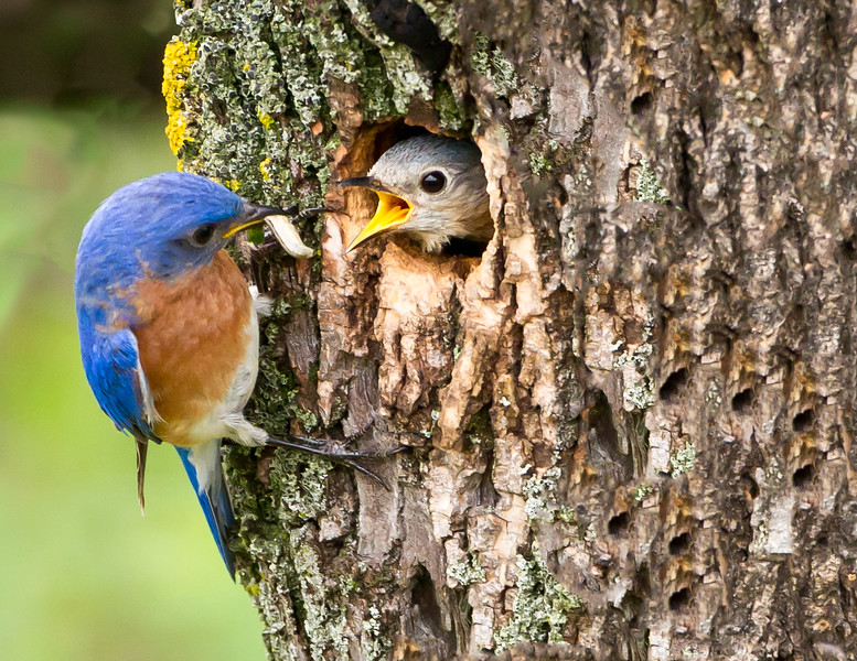Feeding Time Eastern Bluebird Male and Female<br /> Theodore Roosevelt National Park, North Dakota