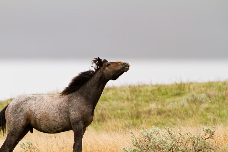 Wild Horse<br /> Theodore Roosevelt National Park, North Dakota